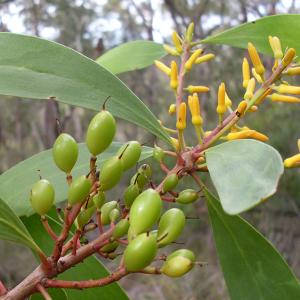 Doolandella – broad-leafed geebung Source: Wikimedia